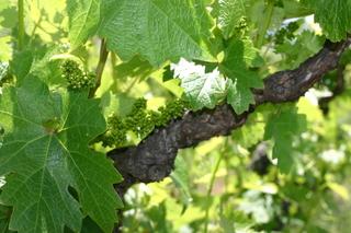 Flowering Louvau Zinfandel
